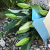 long stem lilies